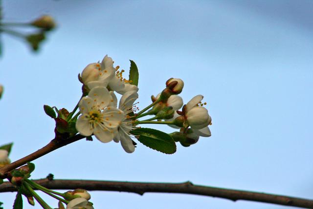Kirsikan kukka