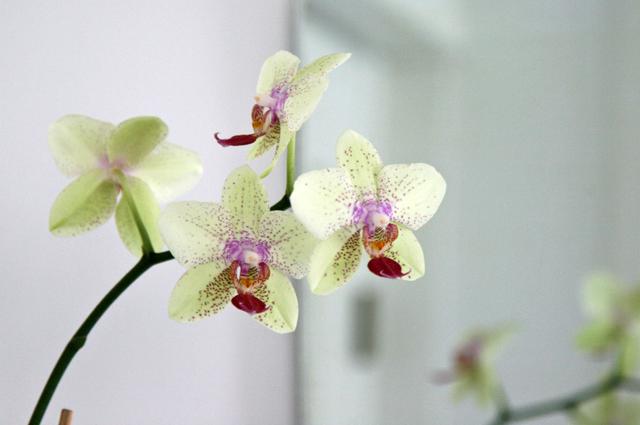 Limen vihreä orkidea