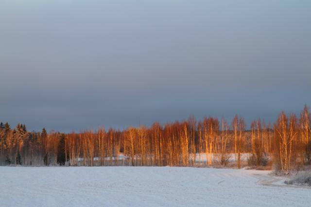 Auringon värjäämät puut