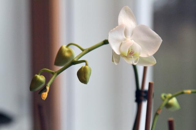 Orkidea kukkii perinteisesti jouluksi