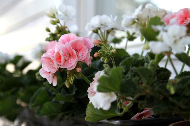 Vaaleanpunaiset ja valkoiset pelargoniat