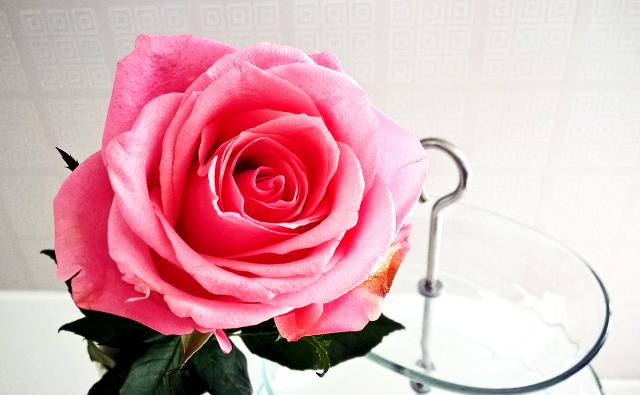 Vaaleanpunainen ruusu