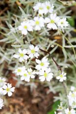 Valkoiset kukat ovat suosikkejani