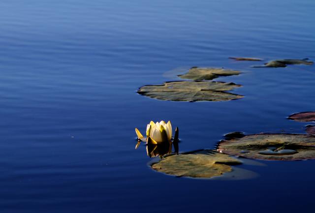 Lumpeenkukka joella