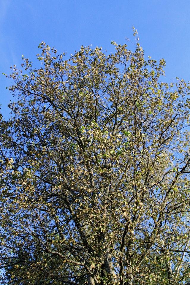 Vuorijalava - ja kuivuneet lehdet