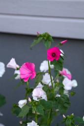 Syksyn parhaat kukkijat, malvikit